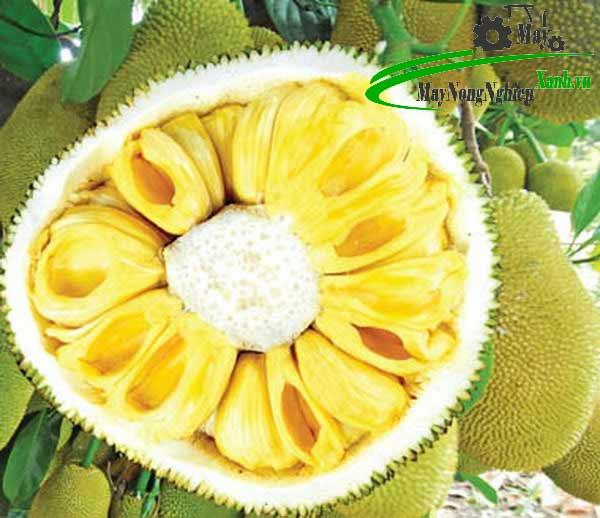 mach ban cach trong giong mit khong hat o can tho thom ngon sai qua 2 - Mách bạn cách trồng giống mít không hạt ở Cần Thơ thơm ngon sai quả