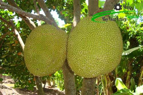 mach ban cach trong giong mit khong hat o can tho thom ngon sai qua 3 - Mách bạn cách trồng giống mít không hạt ở Cần Thơ thơm ngon sai quả