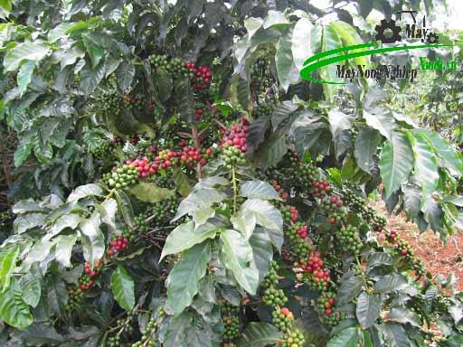 unnamed 1 - Hướng dẫn kỹ thuật trồng cây cà phê xanh lùn năng suất cao và bền vững