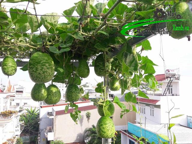 huong dan cach trong bau sai qua cho nguoi moi bat dau tu a z 1 - Hướng dẫn cách trồng bầu sai quả cho người mới bắt đầu từ A – Z