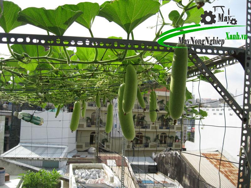 huong dan cach trong bau sai qua cho nguoi moi bat dau tu a z 3 - Hướng dẫn cách trồng bầu sai quả cho người mới bắt đầu từ A – Z