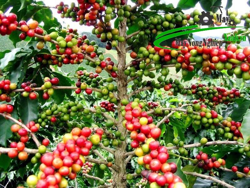 huong dan cach trong ca phe huu co nang suat cao va ben vung 2 - Hướng dẫn cách trồng cà phê hữu cơ năng suất cao và bền vững