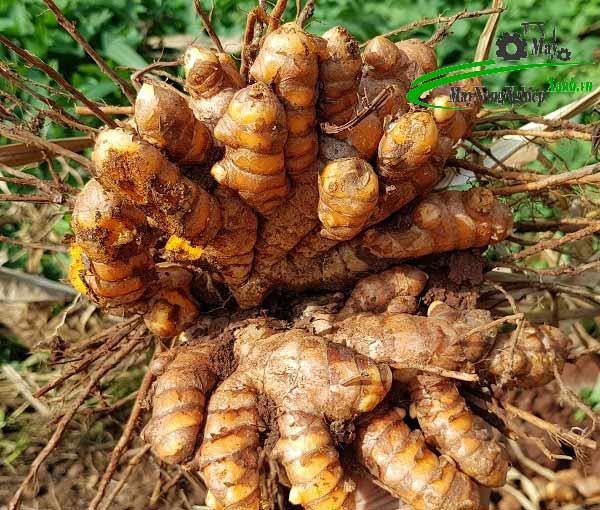 huong dan cach trong nghe bang cu hieu qua chi tiet tu a z 2 - Kỹ thuật trồng nghệ vàng