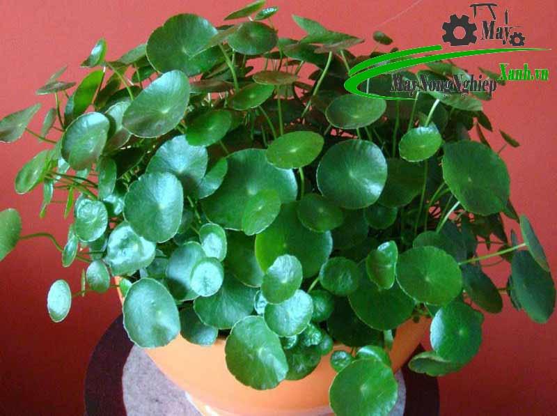 huong dan cach trong rau ma canh hieu qua don gian 1 - Hướng dẫn cách trồng rau má cảnh hiệu quả đơn giản