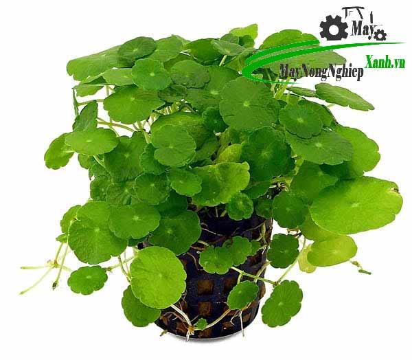 huong dan cach trong rau ma canh hieu qua don gian 3 - Hướng dẫn cách trồng rau má cảnh hiệu quả đơn giản