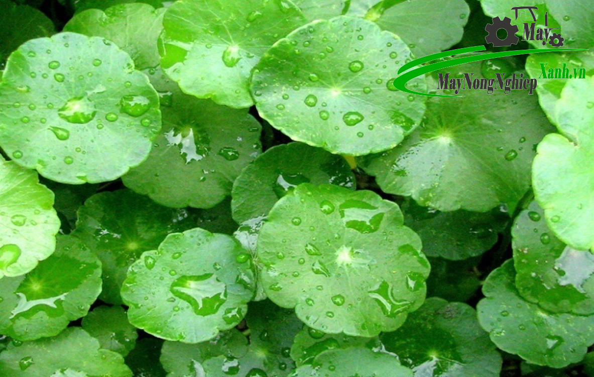 huong dan cach trong rau ma don gian hieu qua tu a z 2 - Hướng dẫn cách trồng rau má đơn giản hiệu quả từ A – Z