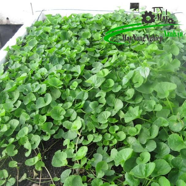 huong dan cach trong rau ma don gian hieu qua tu a z 3 - Hướng dẫn cách trồng rau má đơn giản hiệu quả từ A – Z