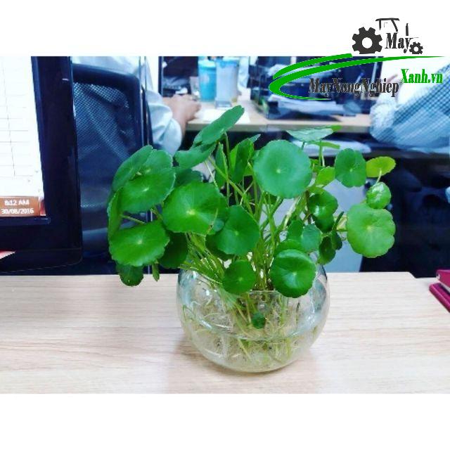 huong dan cach trong rau ma kieng xanh dep mat 1 - Hướng dẫn cách trồng Rau Má Kiểng xanh đẹp mắt