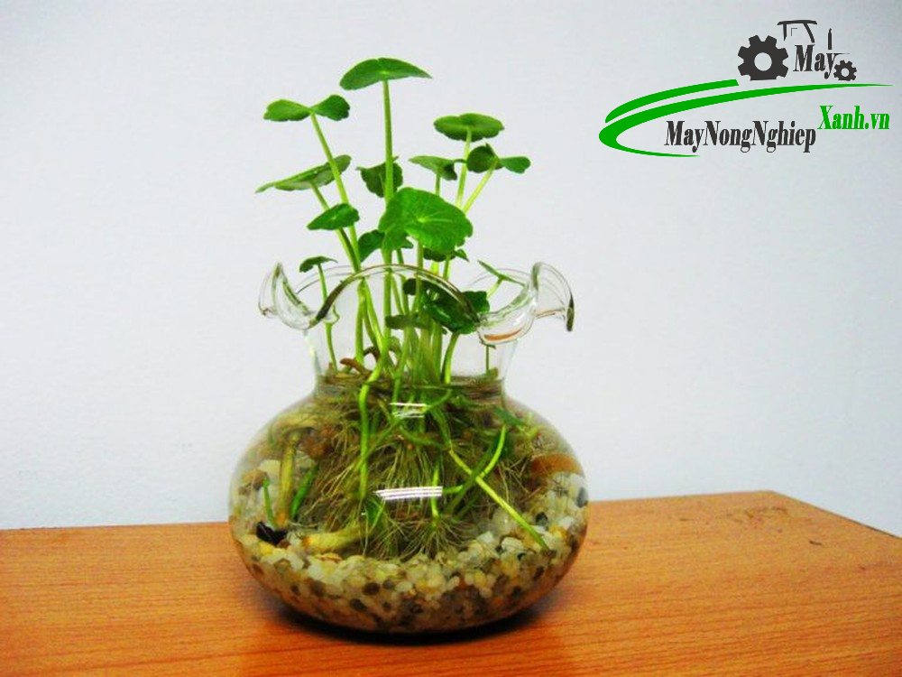 huong dan cach trong rau ma kieng xanh dep mat 2 - Hướng dẫn cách trồng Rau Má Kiểng xanh đẹp mắt