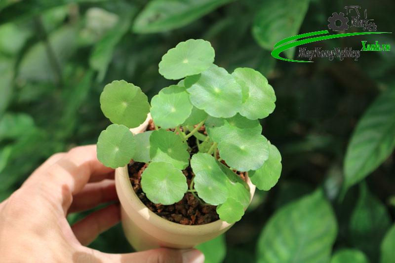huong dan cach trong rau ma kieng xanh dep mat 3 - Hướng dẫn cách trồng Rau Má Kiểng xanh đẹp mắt