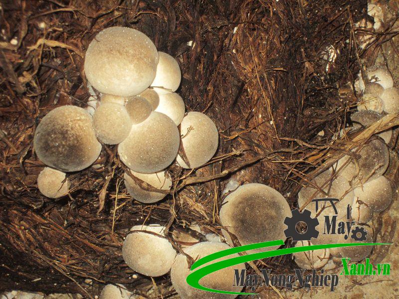 huong dan cong nghe trong nam rom hien dai nang suat cao 3 - Hướng dẫn công nghệ trồng nấm rơm hiện đại năng suất cao