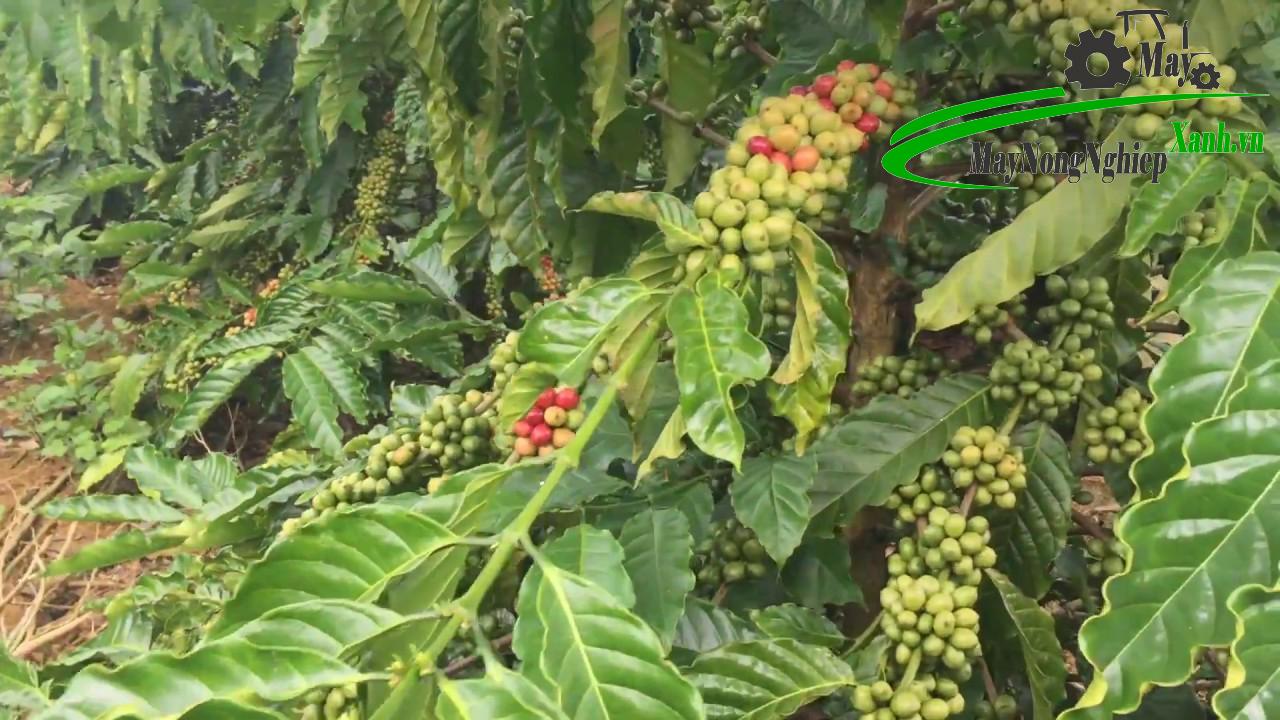 huong dan ky thuat trong ca phe xanh don gian tu a z 1 - Hướng dẫn kỹ thuật trồng cà phê xanh đơn giản từ A – Z
