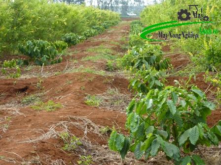 huong dan ky thuat trong ca phe xanh don gian tu a z 2 - Hướng dẫn kỹ thuật trồng cà phê xanh đơn giản từ A – Z