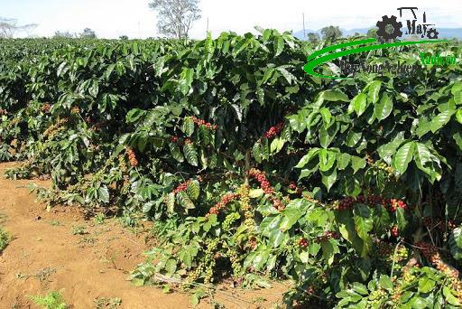 huong dan ky thuat trong ca phe xanh don gian tu a z 3 - Hướng dẫn kỹ thuật trồng cà phê xanh đơn giản từ A – Z