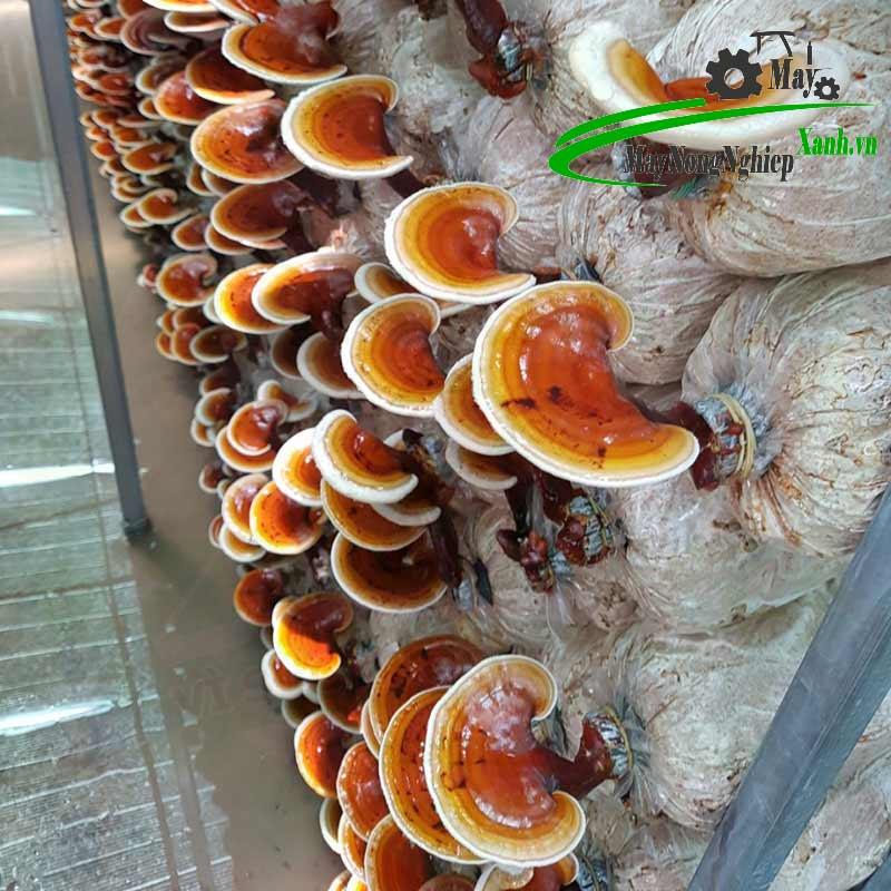 huong dan ky thuat trong nam linh chi do nang suat cao tu a z 1 - Hướng dẫn kỹ thuật trồng nấm linh chi đỏ năng suất cao từ A – Z
