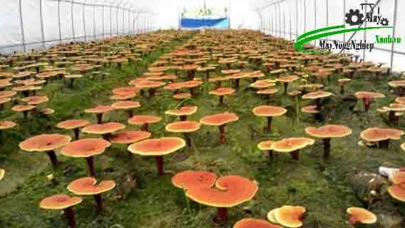 huong dan ky thuat trong nam linh chi do nang suat cao tu a z 3 - Hướng dẫn kỹ thuật trồng nấm linh chi đỏ năng suất cao từ A – Z