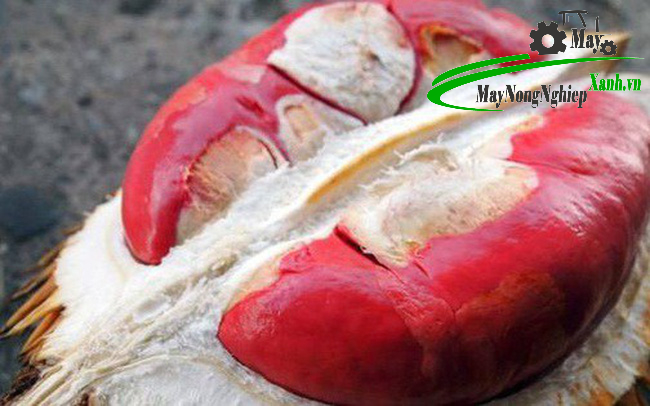 sau rieng ruot do thai lan 3 - Sầu riêng ruột đỏ thái lan