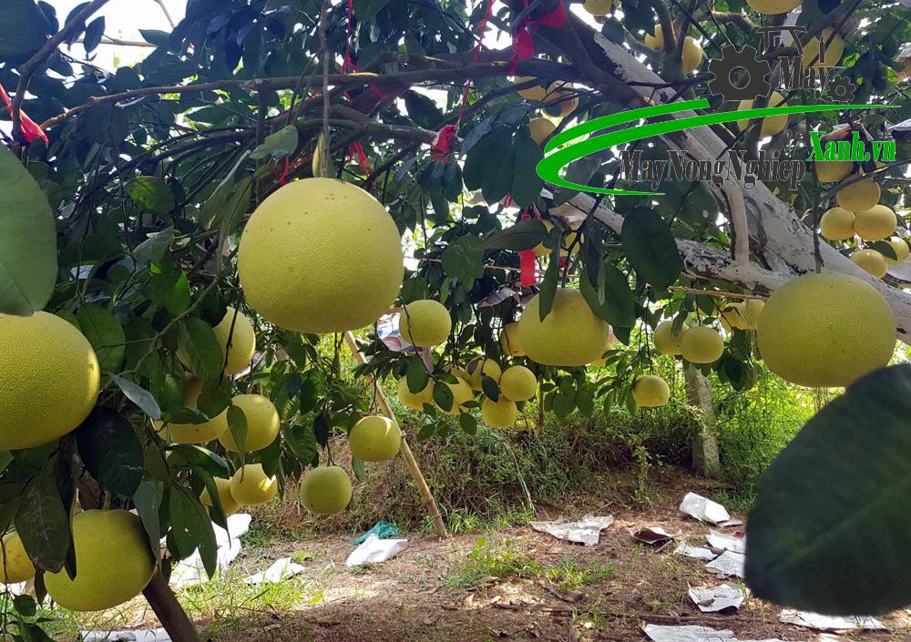 cach trong buoi ngon va cho nang suat cao 1 - Cách trồng bưởi ngon và cho năng suất cao