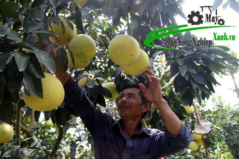 cach trong buoi ngon va cho nang suat cao 2 - Cách trồng bưởi ngon và cho năng suất cao