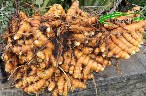huong dan cach trong cay cu nghe va che bien tinh bot nghe nguyen chat - Hướng dẫn cách trồng cây củ nghệ và chế biến tinh bột nghệ nguyên chất