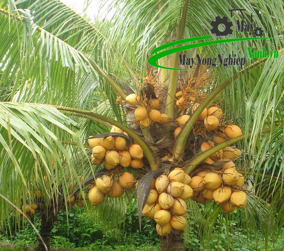 huong dan cach trong dua ma lai nang suat cao thu nhap khung 3 - Hướng dẫn cách trồng dừa Mã Lai năng suất cao thu nhập khủng