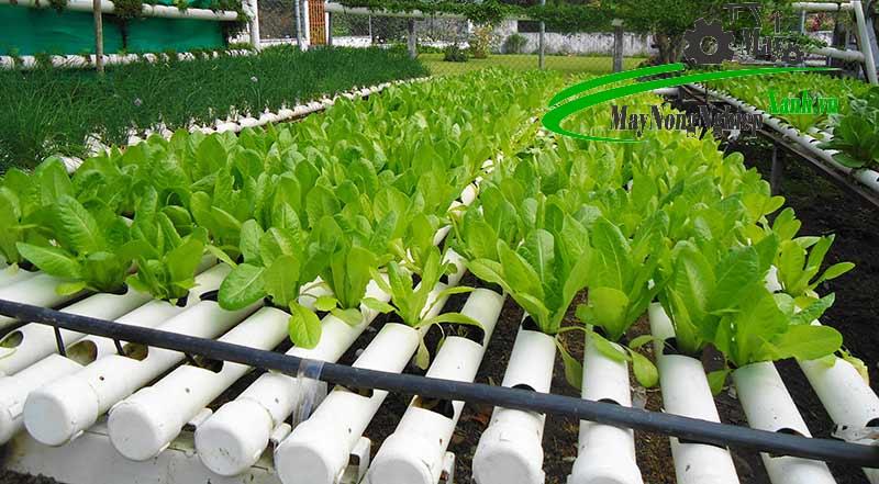 huong dan cach trong rau bang ong nhua pvc dung chuan tu a z 1 - Hướng dẫn cách trồng rau bằng ống nhựa PVC đúng chuẩn từ A – Z