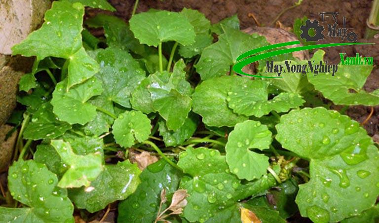 mach ban phuong phap trong rau ma tuoi xanh chat luong tu a z 3 - Mách bạn phương pháp trồng rau má tươi xanh chất lượng từ A – Z