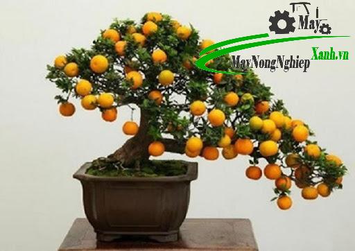 trong cay an qua bonsai 2 - Trồng cây ăn quả bonsai