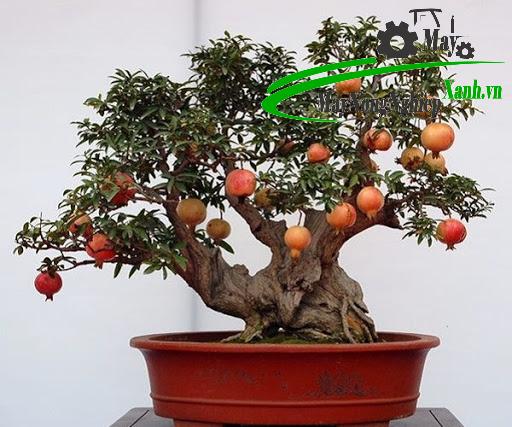 trong cay an qua bonsai 3 - Trồng cây ăn quả bonsai