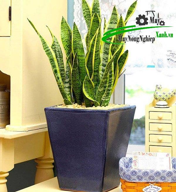 5 su that khi trong cay phong thuy dep trong nha ban can phai biet 1 - 5 Sự thật khi trồng cây phong thủy đẹp trong nhà bạn cần phải biết