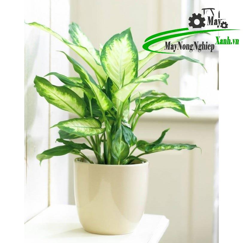 5 su that khi trong cay phong thuy dep trong nha ban can phai biet 2 - 5 Sự thật khi trồng cây phong thủy đẹp trong nhà bạn cần phải biết