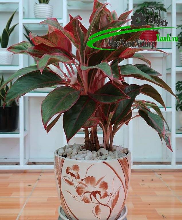 5 su that khi trong cay phong thuy dep trong nha ban can phai biet 3 - 5 Sự thật khi trồng cây phong thủy đẹp trong nhà bạn cần phải biết