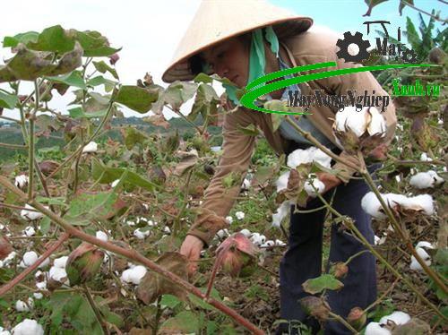 huong dan cach trong bong vai dung cach chi tiet tu a z 3 - Hướng dẫn cách trồng bông vải đúng cách chi tiết từ A – Z