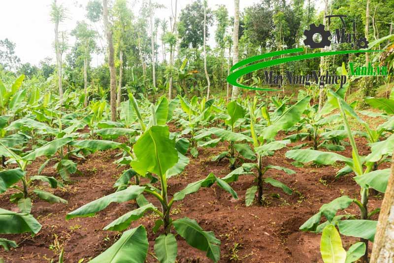 huong dan cach trong chuoi tieu lun nang suat cao it sau benh tu a z 3 - Hướng dẫn cách trồng chuối tiêu lùn năng suất cao ít sâu bệnh từ A – Z