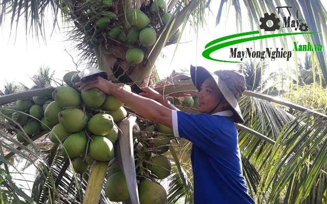 huong dan cach trong dua dua thai lan nang suat cao don gian tu a z 3 - Hướng dẫn cách trồng dừa dứa Thái Lan năng suất cao đơn giản từ A – Z