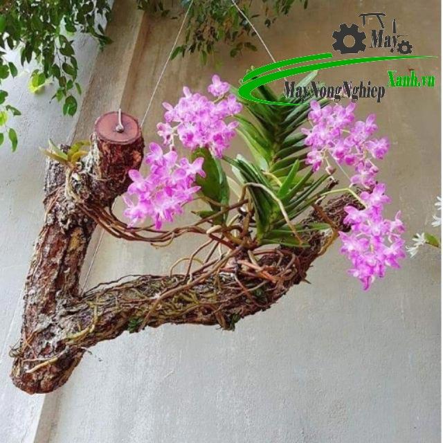 huong dan ky thuat trong hoa lan dung cach chi tiet tu a z ban khong nen bo qua 3 - Hướng dẫn kỹ thuật trồng hoa lan đúng cách chi tiết từ A – Z bạn không nên bỏ qua