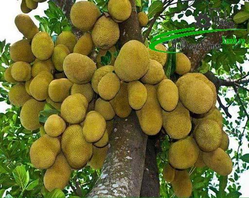 lam the nao de cay mit thai nhanh ra trai va cho qua quanh nam 1 - Làm thế nào để cây mít Thái nhanh ra trái và cho quả quanh năm