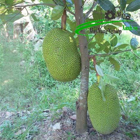 lam the nao de cay mit thai nhanh ra trai va cho qua quanh nam 2 - Làm thế nào để cây mít Thái nhanh ra trái và cho quả quanh năm