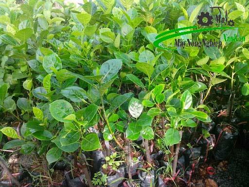lam the nao de cay mit thai nhanh ra trai va cho qua quanh nam 3 - Làm thế nào để cây mít Thái nhanh ra trái và cho quả quanh năm