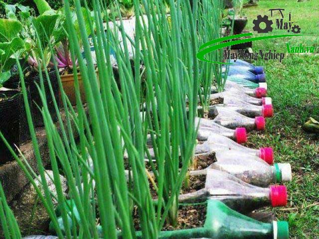 mach ban cach trong hanh la don gian cho nang suat cao va tuoi tot nhat khong phai ai cung biet 2 - Mách bạn cách trồng hành lá đơn giản cho năng suất cao và tươi tốt nhất không phải ai cũng biết