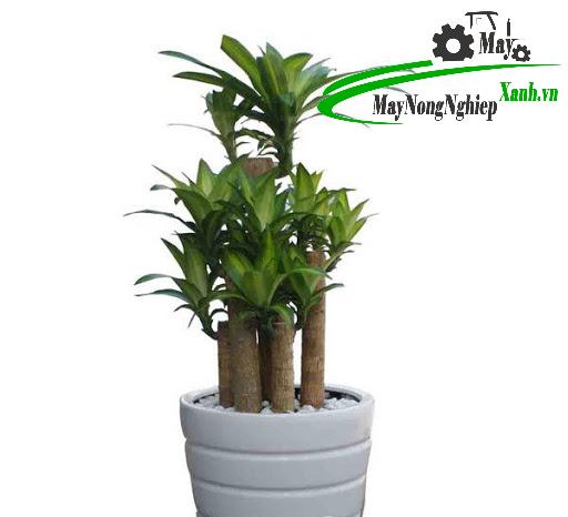 tong hop cac loai cay hop tuoi ty mang phuc loc may man cho nguoi trong 1 - Tổng hợp các loài cây hợp tuổi tỵ mang phúc lộc may mắn cho người trồng